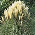 Ravenna Northern Pampas > Erianthus ravennae >Landscape Ready 1 gallon Container