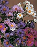Aster novi angliae, belgii Benary's Composition Mix 1,000 seeds