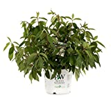 Pinky Winky Hardy Hydrangea (Paniculata) Live Shrub, White and Pink Flowers, 3 Gallon Review