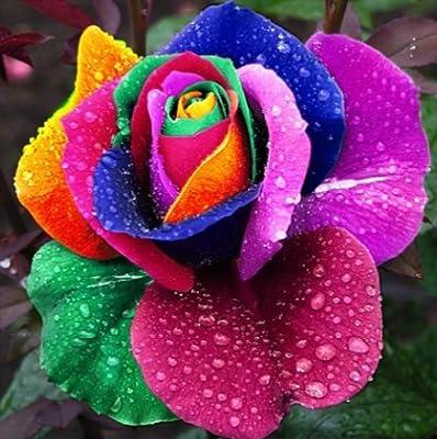 100 Seeds Rare Holland Rainbow Rose seed Flowers Lover colorful Home Garden plants rare rainbow rose flower seeds