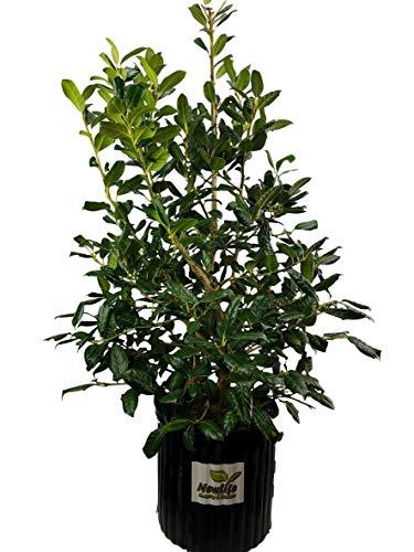 New Life Nursery & Garden / - Nellie Stevens Holly Tree / - 3 Gallon Pot - Nellie Stevens Holly