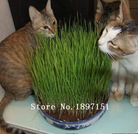 Pinkdose semillas de plantas grandes venta follaje, semillas de hierba de gato, semillas de trigo, alrededor de 100 partículas: 4: Amazon.es: Jardín