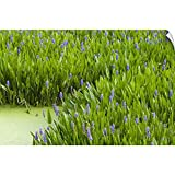 "CANVAS ON DEMAND Wall Peel Wall Art Print Entitled Pickerelweed Colony, Aquatic Perennial herb with Creeping Rhizome, Florida 24""x16"""
