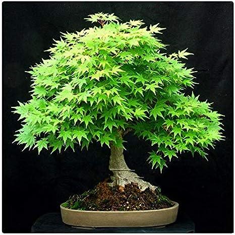 AUTFIT semillas de arce 20pcs, arce verde semillas green maple seeds para bonsai, balcón, jardín (Acer serrulatum Hayata)