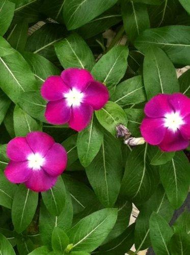 Amazon 100 pink dwarf rose periwinkle vinca rosea flower 100 pink dwarf rose periwinkle vinca rosea flower seeds comb sh mightylinksfo