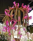 Rat Tail Cactus 100 pcs aporocactus flagelliformis Pink Flowers Bonsai Flowers