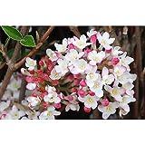 Mohawk Viburnum - Burkwood Viburnum Established Rooted 4' Pot - 3...