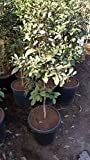 Miracle Berry Fruit Trees - 4 to 5 Feet Tall - Bigger Trunk -Ship in 3 Gal Pot