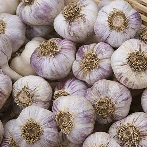 (Casavidas Seeds Package: Early Purple Wight Garlic Bulb - British Grown - Approx 10-12 Cloves)