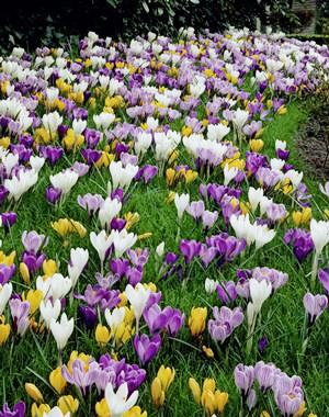 40 Jumbo Crocus Mixture - Crocus vernus & flavus by Daylily Nursery