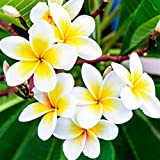 Plumeria - Select Yellows & Whites Plants - Not Just Cuttings. Fragrant Blooms This Summer. Stout 12''-14'' well-rooted plant   Ships From Easy to Grow TM