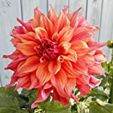 2 Belle Of Barmera Dinnerplate Dahlia Tubers - Root - Bulb - Plant - Spring Planting & Summer Flowers - Blooming Size