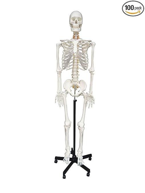 Amazon Wellden Medical Anatomical Human Skeleton Model 170cm