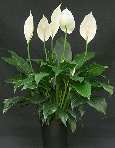 Cappl Peace Lily Plant (Spathiphyllum) ,Green