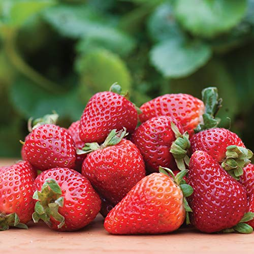 Burpee 'Seascape' Ever-Bearing Strawberry shipped as 25 BARE ROOT PLANTS by Burpee (Image #4)