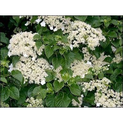 Climbing Hydrangea, Hydrangea anomala petiolaris, Seeds (Vine/Ground Cover) 300 Seeds : Garden & Outdoor