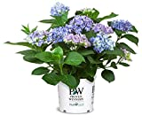 Cityline Rio Bigleaf Hydrangea (Macrophylla) Live Shrub, Blue, Pink and Purple Flowers, 1 Gallon