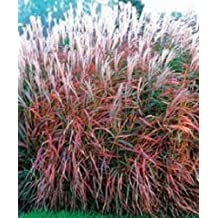 30+ MIscanthus Flame Grass Ornamental Grass / Perennial Flower Seeds