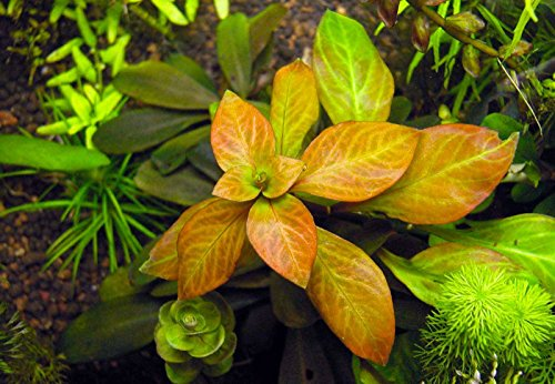 Picture of Ludwigia Repens 'Ovalis' - Live Aquarium Plants Freshwater Decorations BUY2GET1FREE