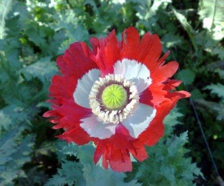 Poppies-danish Flag Afghan Poppy Seeds 1,000 +