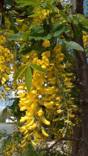 Golden chain laburnum anagyroides 1 year old 6 8cm tall strong golden chain laburnum anagyroides 1 year old 6 8cm tall strong starter plant mightylinksfo