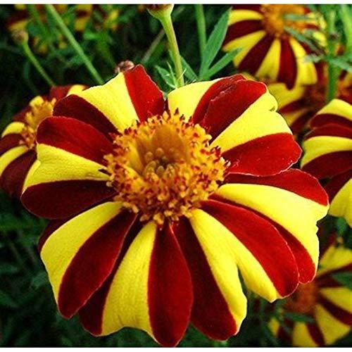 Seeds Marigolds Tagetes Madjestic Flower Balcony Annual Garden Organic Ukraine