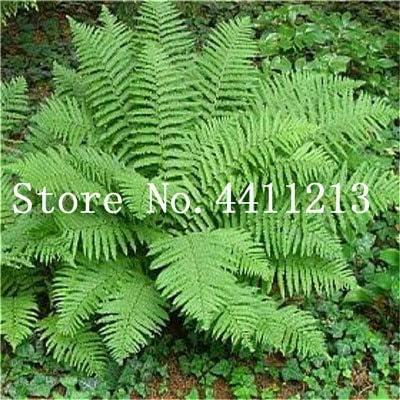 Bloom Green Co. Bonsai 100 Unids Raras Bonsai Colores Mezclados Helecho Plantas de Hierbas Perennes Bonsai Maceta Planta de Interior Para Huerto Fácil Crecer: 10