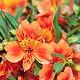 "Alstroemeria Amina - Peruvian Lily - Princess Lily - 1 Bloom - Orange - Plant in 4"" Container 