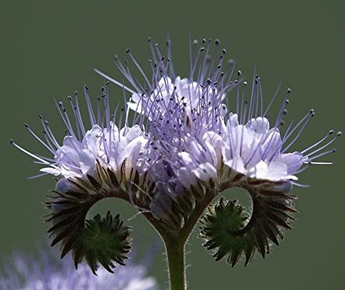 Lacy Phacelia - Heavy blooming, nectar rich flower! Blue to purple bell-shaped! (50 - (Bell Shaped Flowers)