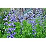 Indigo Bush Baptisia australis Blue False Hardy Established Roots - 1 Gallon Trade Potted - 1 Plant by Growers Solution