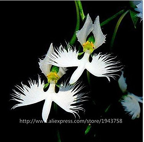 The white egret orchid flower habenaria radiata s the best amazon 50 seeds japanese radiata seeds white egret orchid seeds worlds rare orchid species white flowers orchidee mightylinksfo