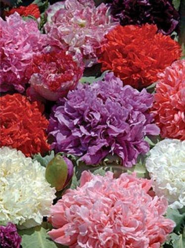 (Org Countyry Cottage Peony Poppy Papaver Somniferum 40,000 + Seeds)