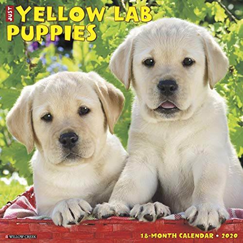 Just Yellow Lab Puppies 2020 Wall Calendar (Dog Breed Calendar)