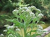10 Seeds Verbesina minuticeps Dwarf Tree