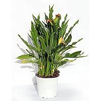 CALA - LIRIOS DE AGUA- CALAS. DE COLOR VARIADO ¡¡¡ PLANTA NATURAL ¡¡¡ altura: 40 cm aproximado, contenedor 14 cm. ENVIOS…
