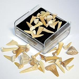 Set de fósiles de dientes de tiburón
