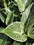 Philodendron Birkin Tropical Live Plant Starter