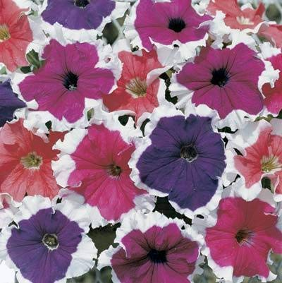 FERRY Organic Seeds:Petunia Frost Mix 2,000 Seeds Need More? Ask
