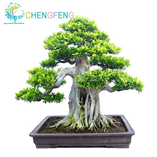 Shopmeeko 100pcs A Bag Banyan Tree Bonsai Ficus Ginseng Bonsai Chinese Rare Ficus Microcarpa Tree Green Bonsai DIY Home Garden: ()