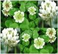 10,000 White Dutch Clover Seeds nectar source for bees and butterflies ~FRAGRANT