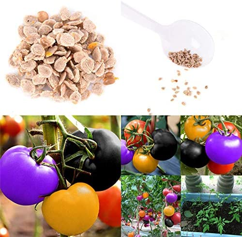 100X Rainbow Tomato Seeds Colorful Bonsai Organic Vegetables Seed Haus Garden/'