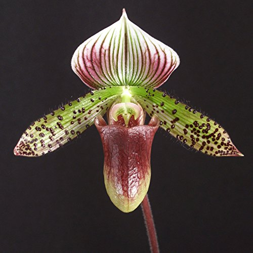 Paph. Makuli 'Maggie' CCE/AOS x Paph. Raisin Pie 'Greensleeves'