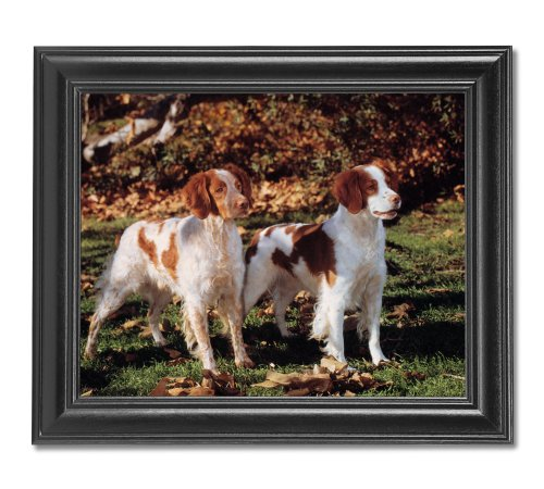 Brittany Spaniel Picture (Two Brittany Spaniel Puppy Dogs Standing Photo Wall Picture Framed Art Print)