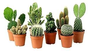 Cactus ornamentali Juego de 11Plantas Crasas 'Spiny Garden' de jarrón 10cm