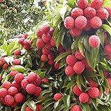 Fresh Lychee Litchi Tree Seeds Delicious Sweet Seasonal Succulent Fruit Plants 10pcs