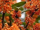 Orange Flowering Fragrant Tea Olive (osmanthus) - Live Plant - 3 Gallon Pot