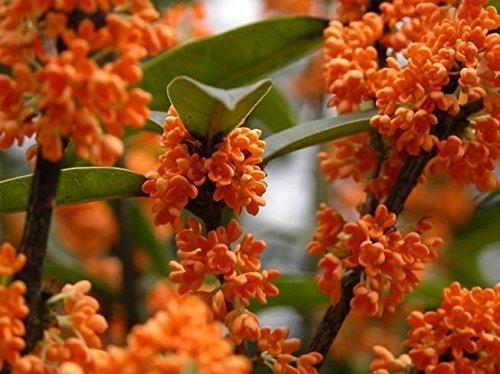 Orange Flowering Fragrant Tea Olive (osmanthus) - Live Plant - 3 Gallon Pot (Fragrant Flowering Tree)