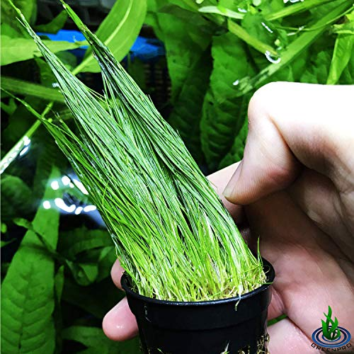 Greenpro Dwarf Hairgrass Eleocharis Parvula Potted Freshwater Live Aquarium Plants Fish Tank