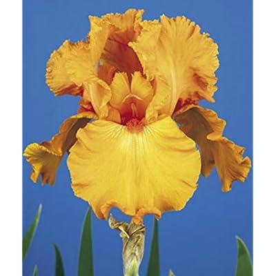1 SAVANNAH SUNSET BEARDED IRIS Rhizome / Bulb / Root - ORDER for FALL PLANTING : Garden & Outdoor