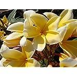 1-Hawaii-Yellow-Frangipani-Plumeria-Unrooted-Slip